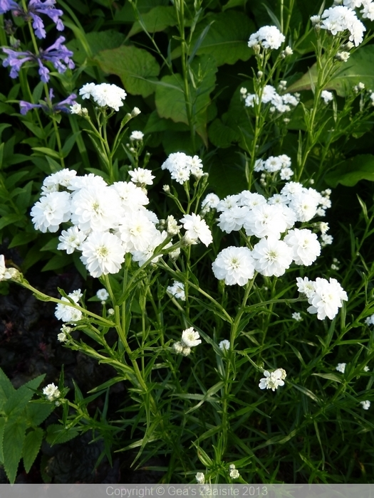 achillea ptarmica the pearl, wilde bertram